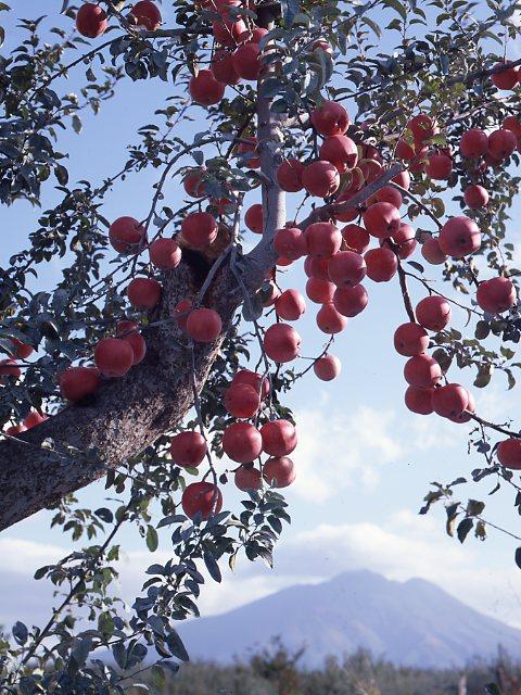 野菜果物 岩木山とリンゴ