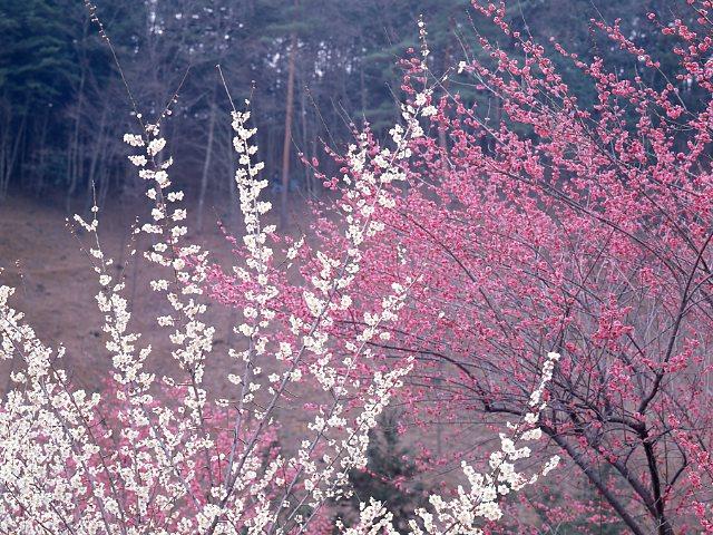 花 梅の花